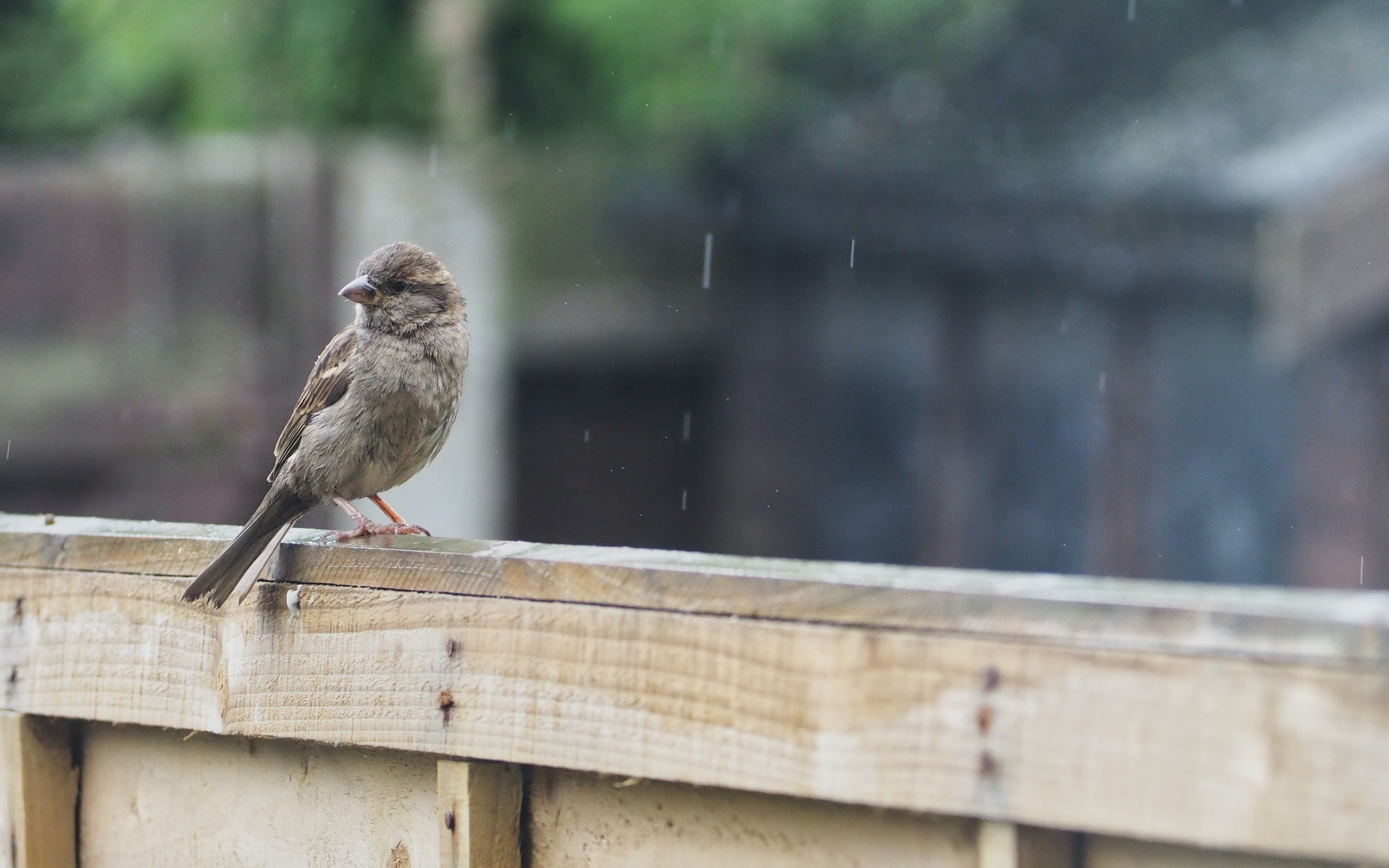 House Sparrow sitting on a garden fench in the rain