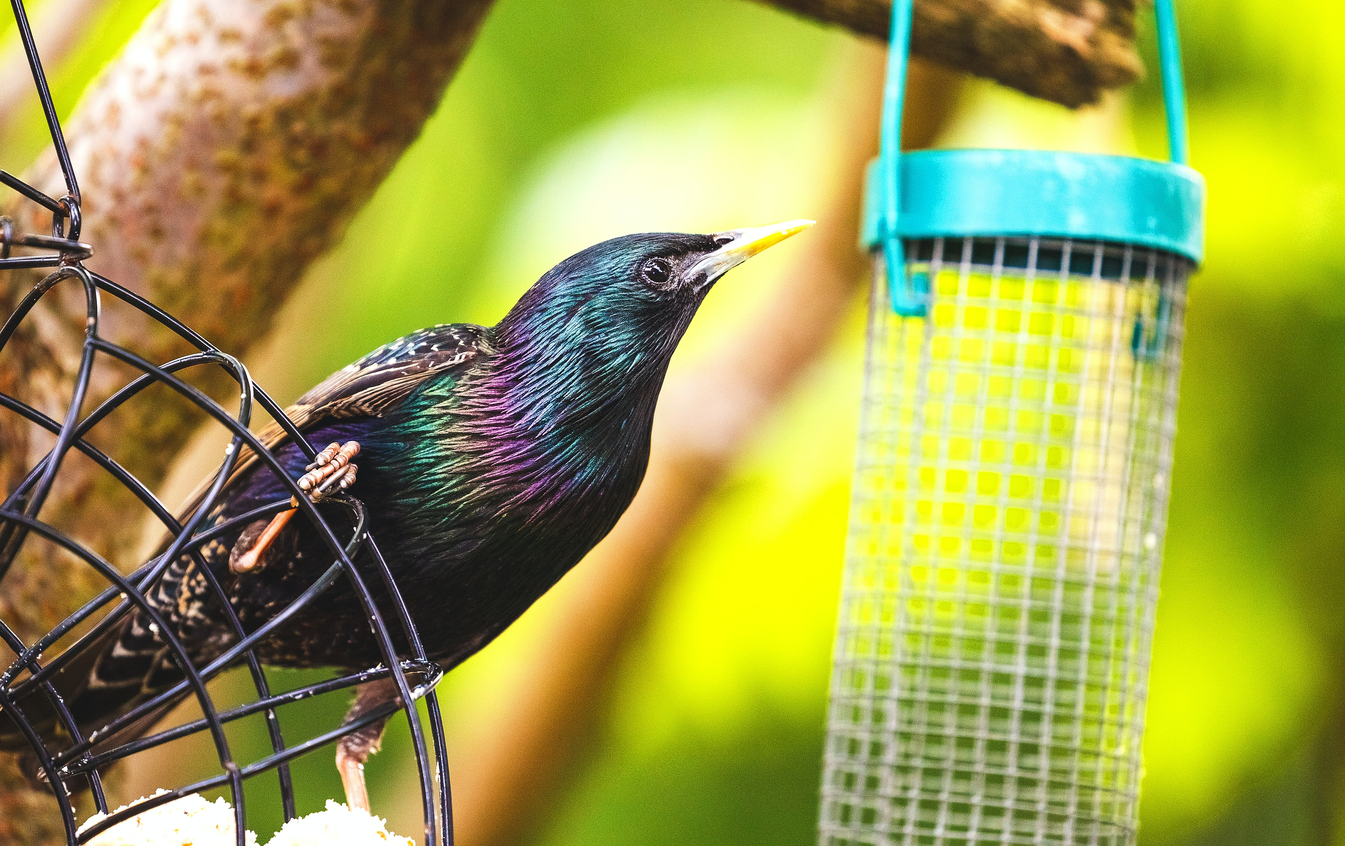 Starling eating at a garden feeding station